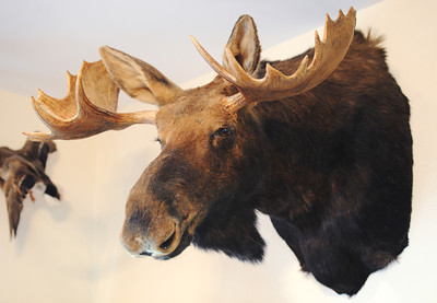 Globe/T. Rob Brown A taxidermied moose taken in Canada by bow huntress Jane Mitchell of Carl Junction hangs on her living room wall Wednesday afternoon, June 12, 2013.