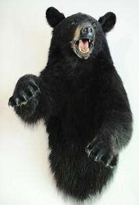 Globe/T. Rob Brown A taxidermied black bear taken by bow huntress Jane Mitchell of Carl Junction hangs on her living room wall Wednesday afternoon, June 12, 2013.